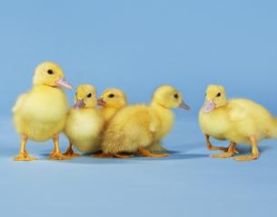 Ducklings-Thinkstock