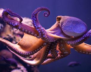 Octopus-2014