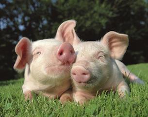 Pigs-istock-2015